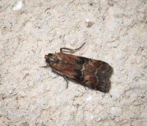 Pempelia formosa Champarnaud Claude Rochefort 17 26082016 {JPEG}