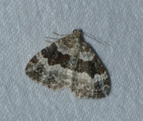 Epirrhoe alternata West Hazel Corignac 17 03092016 {JPEG}