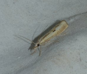 Agriphila inquinatella West Hazel Corignac 17 24082016 {JPEG}