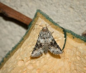 Aetheria bicolorata Champarnaud Claude Rochefort 17 19062016 {JPEG}