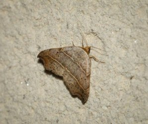 Lasperia flexula Champarnaud Claude Rochefort 17 20052016 {JPEG}