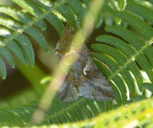Autographa gamma West Hazel Saint-Fort sur Gironde 17 24072016 {JPEG}