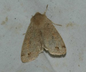 Orthosia munda West Hazel La Clotte 17 02042016 {JPEG}