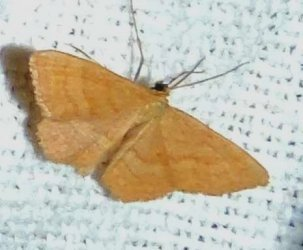 Idaea ochrata possible Charles Geneviève Saint-Denis du Pin 17 29072016 {JPEG}
