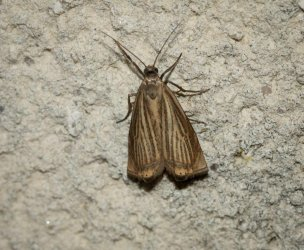 Chrysoteuchia culmella Champarnaud Claude Rochefort 17 22062016 {JPEG}