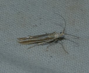 Coleophora sp West Hazel Saint-Ciers du Taillon 17 19042016 {JPEG}