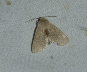 Orthosia cruda West Hazel La Clotte 17 02042016 {JPEG}