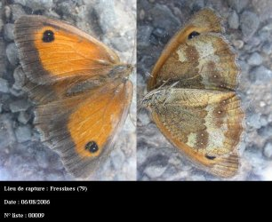 Pyronia tithonus Guyonnet Antoine Fressines 79 06082009 {JPEG}