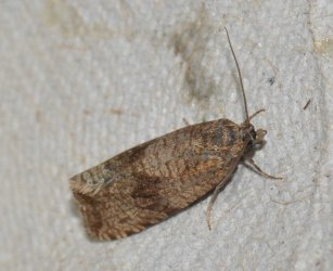 Celypha striana West Hazel et Ron Mortagne sur Gironde 17 08092014 {JPEG}