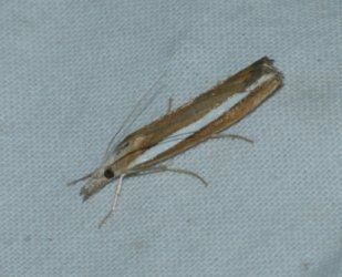 Agriphila latistria West Hazel La Clotte 17 27092016 {JPEG}