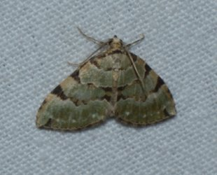 Colostygia pectinataria West Hazel Corignac 17 03092016 {JPEG}