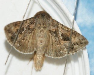 Trichoplusia ni (Hübner, 1803) - Papillons de Poitou-Charentes