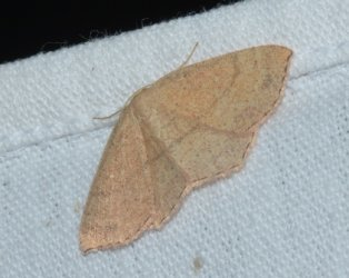 Cyclophora ruficiliaria West Hazel Saint-Ciers du Taillon 17 28082016 {JPEG}