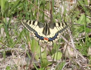 Papilio machaon Brunet Claudie Voulgezac 16 13042011 {JPEG}