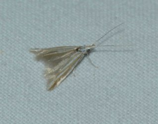Coleophora sp West Hazel Corignac 17 29072016 {JPEG}