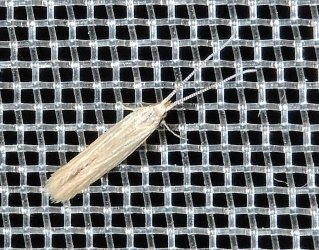 Coleophora sp Charles Genevieve Saint-Jean d-Angely 17 12082015 {JPEG}