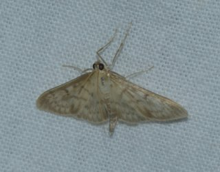 Pleuroptya ruralis West Hazel La Clotte 17 25102016 {JPEG}