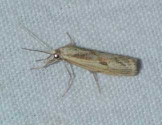 Agriphila inquinatella West Hazel Saint-Ciers du Taillon 17 28082016 {JPEG}