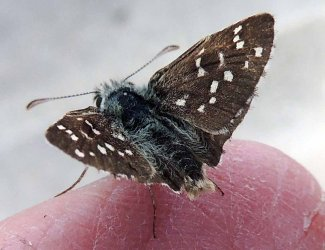 Pyrgus sp Toussaint Michel Coulon 79 19082017 {JPEG}
