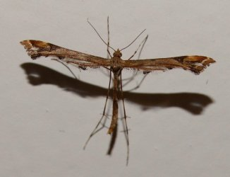 Amblyptilia acanthadactyla Ceylo Dominique Royan 17 27112014 {JPEG}