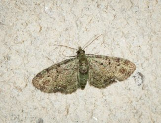Chloroclystis rectangulata Champarnaud Claude Rochefort 17 20062016 {JPEG}