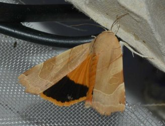 Noctua fimbriata West Hazel et Ron La Clotte 17 20072015 {JPEG}