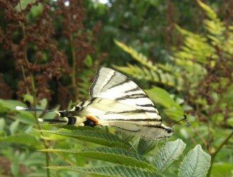 Iphiclides podalirius linnaeus 1758 papillons de for Villiers 86