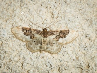 Idaea vulpinaria Champarnaud Claude Rochefort 17 20062016 {JPEG}