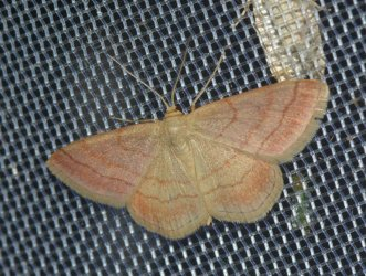 Scopula rubiginata West Hazel et Ron Saint-Sorlin de Conac 17 21072015 {JPEG}