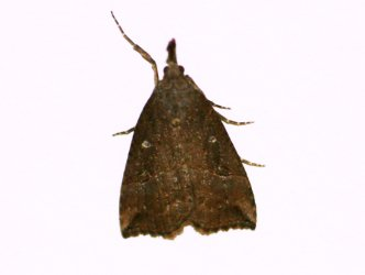 Hypena rostralis -Rouché Michel - 30140 Bagard- 25/10/2008 {JPEG}