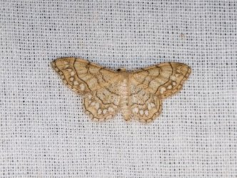 Idaea moniliata Champarnaud Claude Sainte-Gemme 17 15072018 {JPEG}