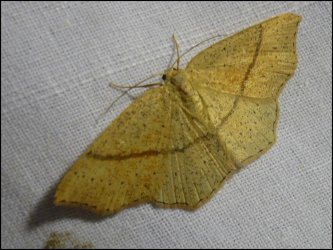 Cyclophora linearia Francoz Philippe Chindrieux 73 20052009 {JPEG}