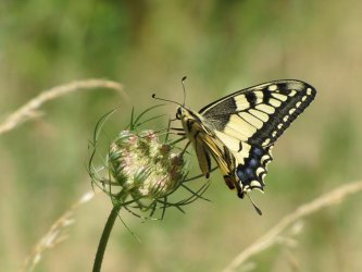 Papilio machaon Miteu Martine Genneton 79 14072013 {JPEG}