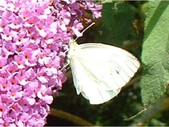 Pieris rapae Jean N. 14 24072006 {JPEG}