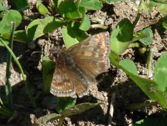 Erynnis tages Porteneuve Jean-Jacques Super Besse 63 07072010 {JPEG}