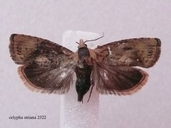 Celypha striana Lemoine Christian Secondigny 79 30072008 {JPEG}