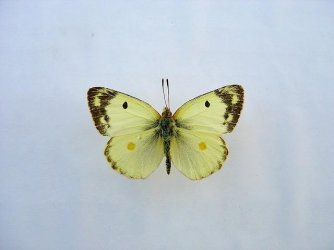Colias hyale Loth Francis Romegoux 17 19092010 {JPEG}