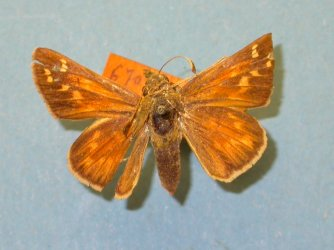 Hesperia comma Collection Levesque Robert {JPEG}