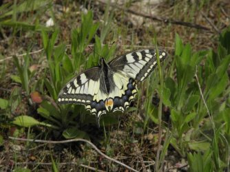 Papilio machaon Charneau Damien Mornac 16 08052014 {JPEG}