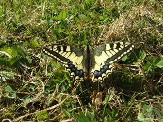 Papilio machaon Miteu Martine Genneton 79 25042010 {JPEG}