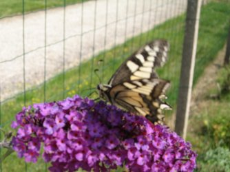 Papilio machaon Ricou Arlette Port des Barques 17 19072007 {JPEG}