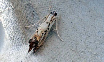 Catoptria falsella Boucher David Sansais 79 26062019 {JPEG}