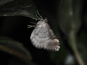 Epirrhoe alternata West Hazel et Ron Mortagne sur Gironde 17 10042014 {JPEG}