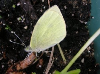 Pieris rapae Bascle Robert 17 15042006 {JPEG}