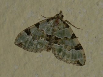 Colostygia pectinataria West Hazel et Ron Saint-Sorlin de Conac 17 01052015 {JPEG}