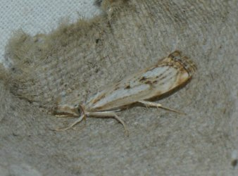 Catoptria falsella West Hazel La Clotte 17 26072016 {JPEG}