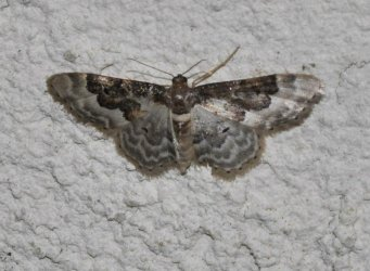 Idaea vulpinaria West Hazel et Ron Saint-Sorlin de Conac 17 20062015 {JPEG}