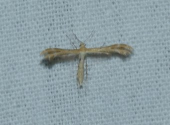 Oxyptilus tristis (sp) West Hazel La Clotte 17 27092016 LAA 7mm {JPEG}