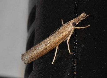 Pediasia contaminella West Hazel et Ron Saint-Sorlin de Conac 17 01062015 {JPEG}