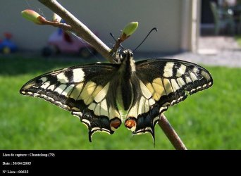 Papilio machaon Bonnet Stephane Chanteloup 79 30042005 {JPEG}